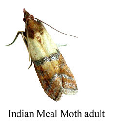 Indian-Meal-Moth-adult