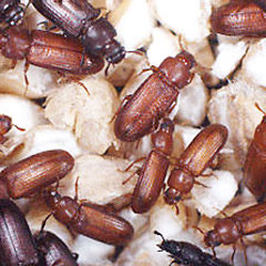 Red-and-Confused-Flour-Beetles