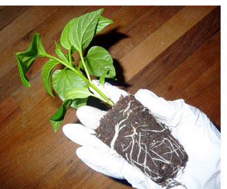 Transplanting-of-Chili-Peppers - Magic Plant