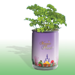 Coriander Growing Kit