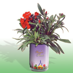 Dianthus Growing Kits