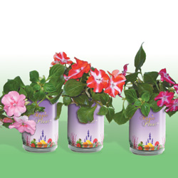 Impatiens Growing Kits
