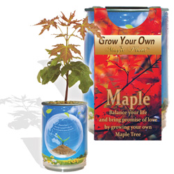 Maple Trees Growing Kits
