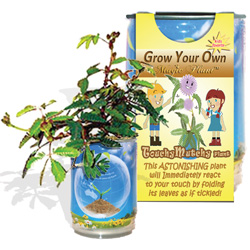 Grow Your Own Mimosa tree