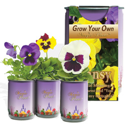 Grow Your Own Pansy