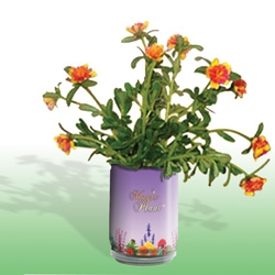 Portulaca - Moss Rose Growing Kit