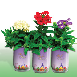 Verbena Hybrida Growing Kits