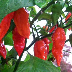 Ghost Pepper | Ghost Chili